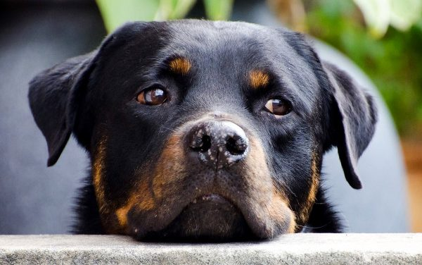 The 5 Best Dog Foods for Rottweilers with Allergies (2021)