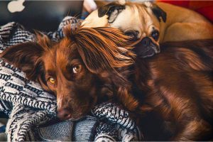 resting dogs