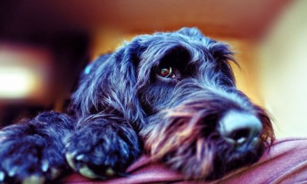 5 Best Dog Foods for (Miniature) Schnauzers w/ Skin Allergies