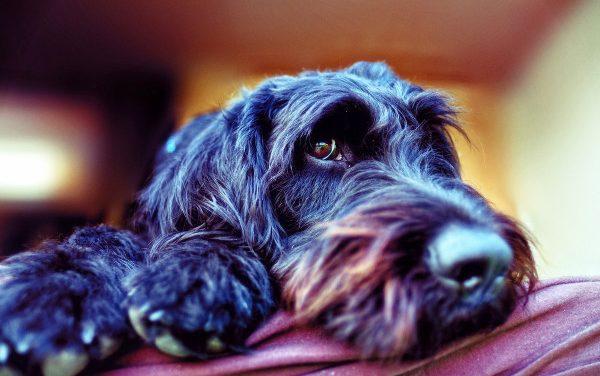 5 Best Dog Foods for (Miniature) Schnauzers w/ Skin Allergies
